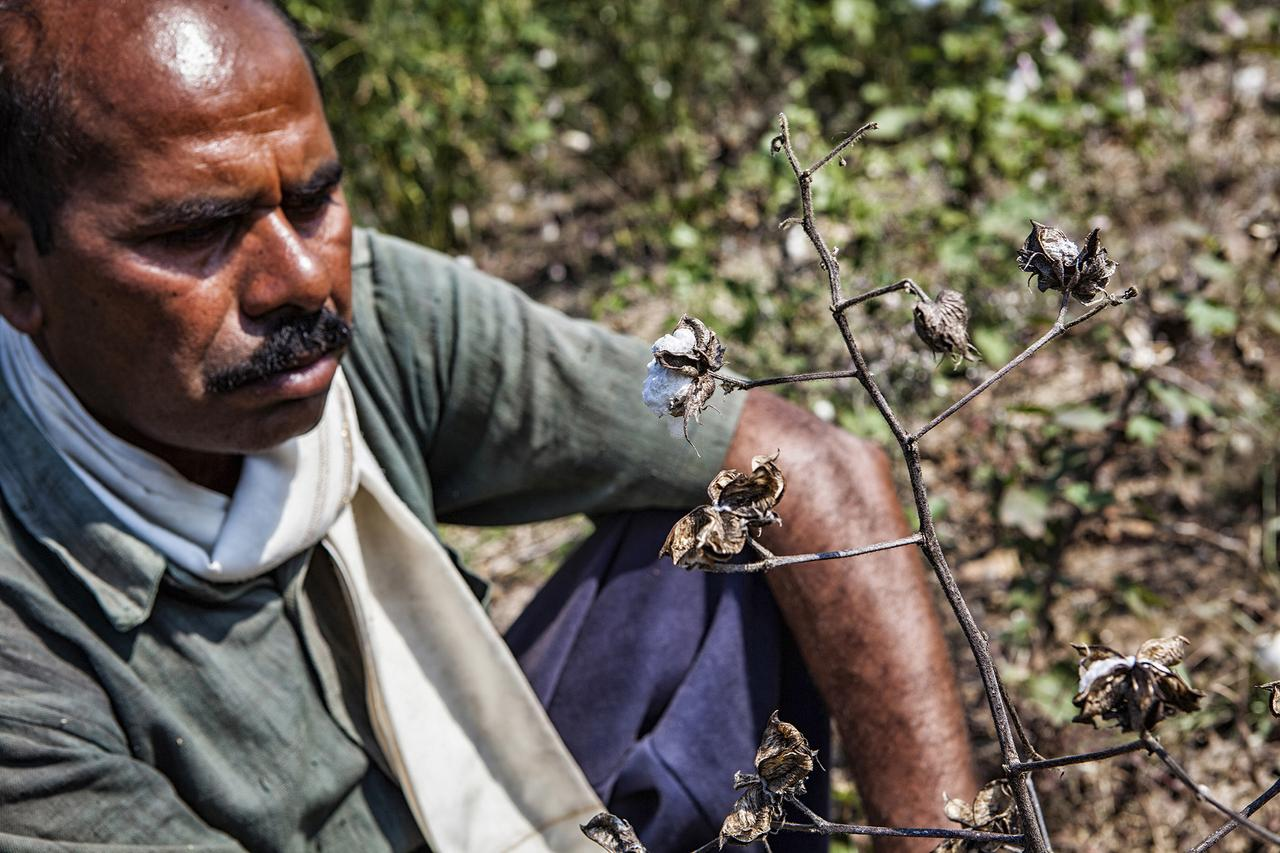 Farmer Dnyaneshwar Deoraoji, forty-six, of Madni, checking his cotton crops, severely affected by drought.