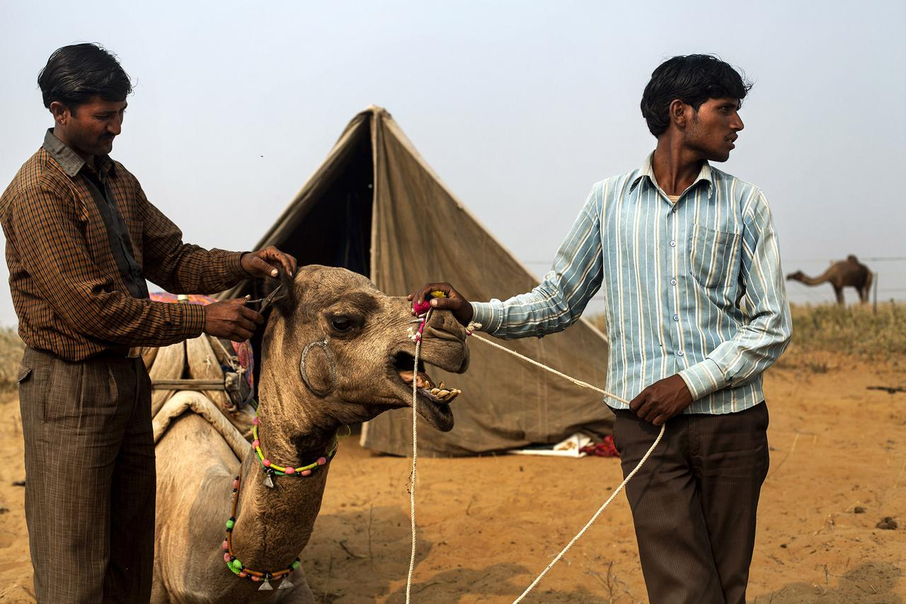Lokesh (left) and his friend trim a camel's hair outside the Camel Fair in Pushkar. This year, Lokesh brought six camels to sell at the fair.