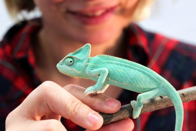 A baby chameleon at Madrid's Expoterraria.